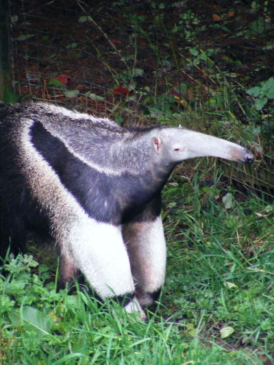 Animal Animal Themes Animals Anteater Mammal Mammals Nature Nature Nature_collection Wildlife Wildlife & Nature Wildlife Photography