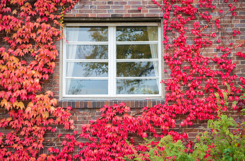 Red ivy on house with white window Window Plant Flowering Plant Flower Architecture Built Structure Building Exterior Building Growth Nature Red Glass - Material Day Beauty In Nature No People House Outdoors Freshness Ivy Residential District Change Brick Window Frame