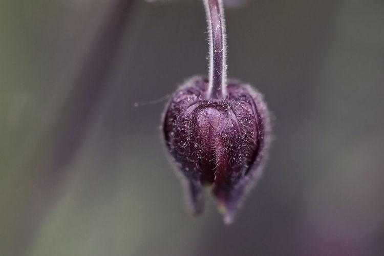 Close-up of purple flower bud
