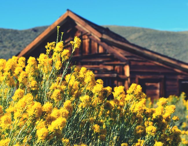Paint The Town Yellow Yellow Flower Mountain Plant Growth Nature No People House Outdoors Day Beauty In Nature Built Structure Clear Sky Architecture Roof Blooming Fragility Building Exterior Sky Close-up Ghost Town Bodie Ghost Town