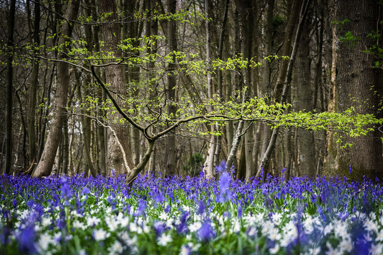 Bluebell flowers growing by trees on field