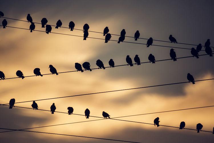 Flock of birds perching on power lines