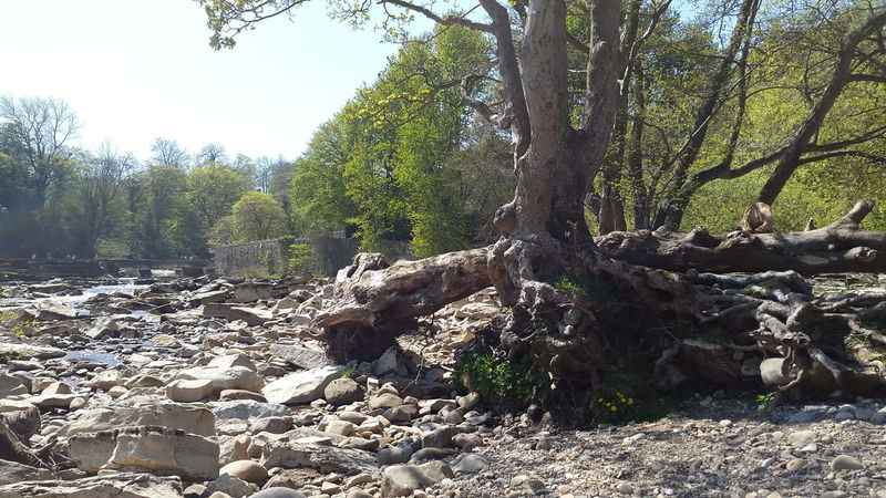 Tree Waterfront River Richmond North Yorkshire River Swale Rocks Landscape
