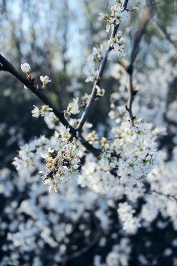 White Beautiful Plant Flower Growth Flowering Plant Tree Fragility Beauty In Nature Branch Nature Day Blossom No People Freshness Vulnerability  Close-up Selective Focus Springtime Focus On Foreground Outdoors Cherry Blossom