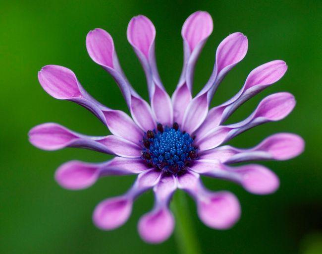 Flower Flower Blue Petal Mauve  Osteospermum African Daisy