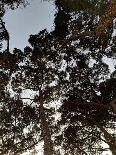 treetops at
