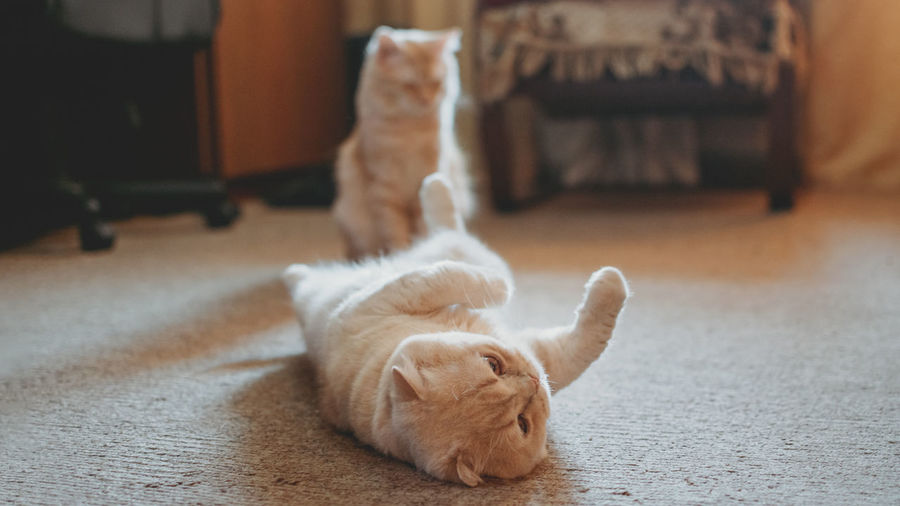 Introducing two cats. adopt a second cat. adding a second cat to your household. peaceful multi-cat