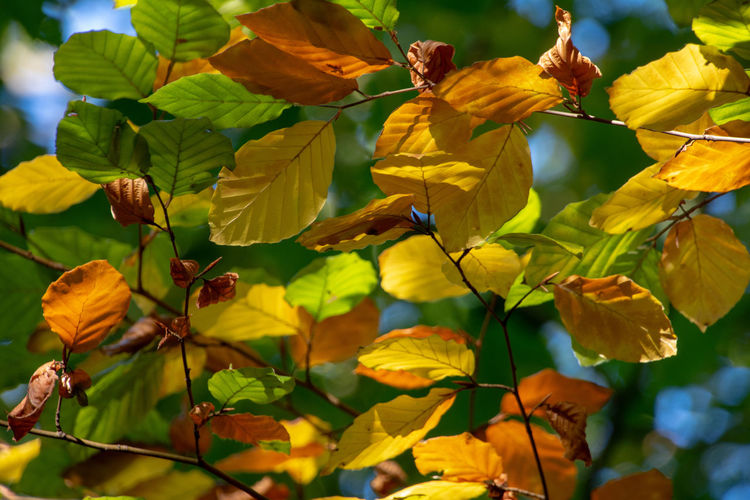 Golden autumn beech leaves Plant Growth Beauty In Nature Vulnerability  Fragility Yellow Leaf Plant Part Nature Day Focus On Foreground Beech Beech Forest Beechleaves Beech Leaves Golden Autumn colors Autumn🍁🍁🍁 Autumn Autumn Leaves Autumn Glow Orange Color Turning Leaves Woodlandwalks Forest Photography