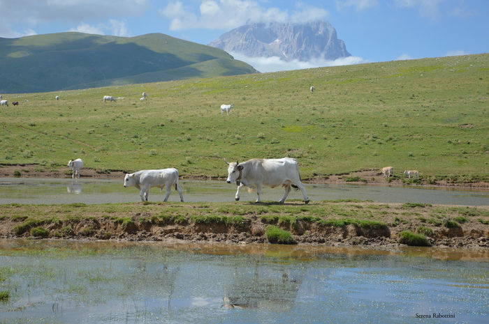 Al pascolo tra i monti abruzzesi Mountain Nature Landscape Animal Themes Water Tranquility Photography EyeEm Best Shots Animal Freedom Cow Italianplace Italy Abruzzo