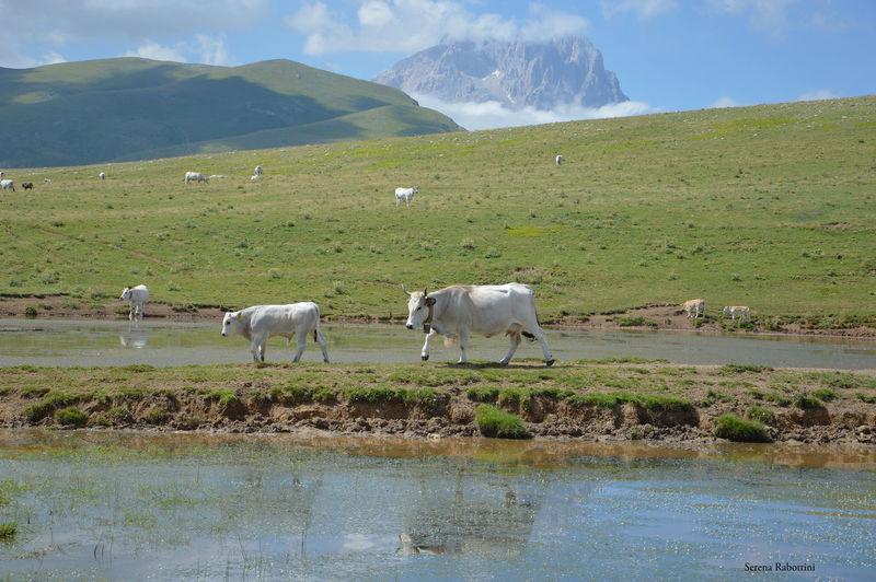 Al pascolo tra i monti abruzzesi Mountain Nature Landscape Animal Themes Water Tranquility Photography EyeEm Best Shots Animal Freedom Cow Italianplace Italy Abruzzo