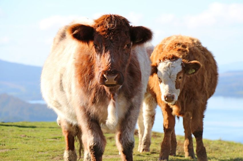 Animal Themes Domestic Animals Mammal Front View Grass Field Livestock Standing Herbivorous Zoology Selective Focus Looking At Camera Domestic Cattle Animal Sky Focus On Foreground Nature Day Animal Nose Outdoors Balmaha Conic Hill