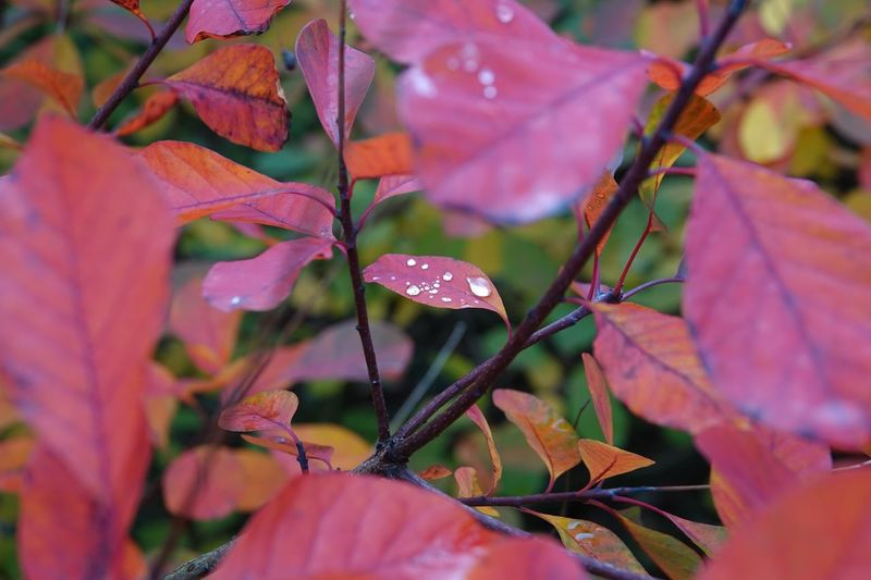 Glistening Raindrops Raindrops Leaf Plant Part Plant Growth Beauty In Nature Autumn Close-up Nature Outdoors Leaves Selective Focus Tranquility