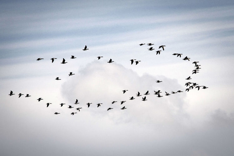 Gooses Flying