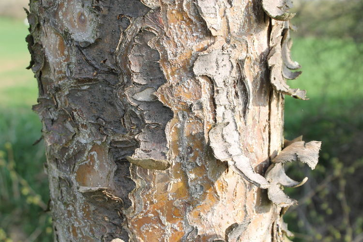 Bark Close-up Day Forest Full Frame Knotted Wood Nature No People Outdoors Plant Bark Representing Textured  Tree Tree Ring Tree Trunk Wood - Material
