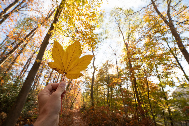 Autumn Human Hand Human Body Part Hand Tree Leaf Plant Part One Person Plant Change Nature Day Holding Unrecognizable Person Real People Body Part Personal Perspective Yellow Finger Outdoors Maple Leaf Human Limb Autumn Collection Leaves