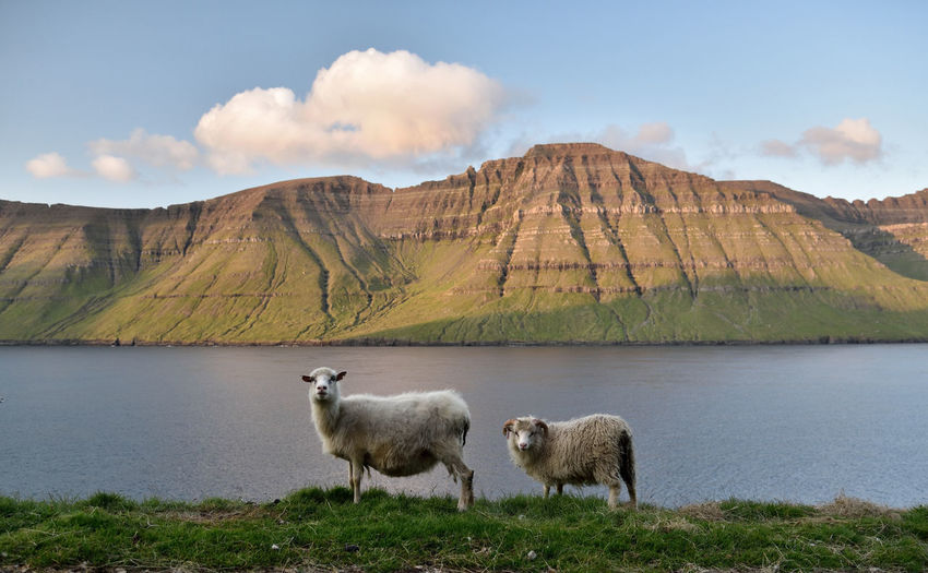 Sheep on mountain by lake against sky