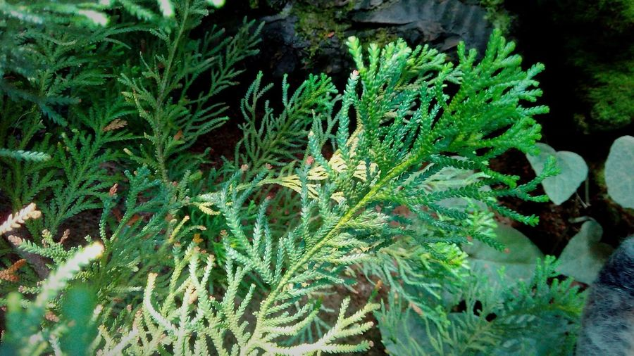 Leaf Fern Close-up Plant Green Color Water Plant Plant Life Pinaceae Pine Woodland Evergreen Tree Coniferous Tree Pine Wood Eastern Europe Botany Pine Cone Growing Needle - Plant Part Pine Tree Forest Fire Fir Tree Spruce Tree In Bloom