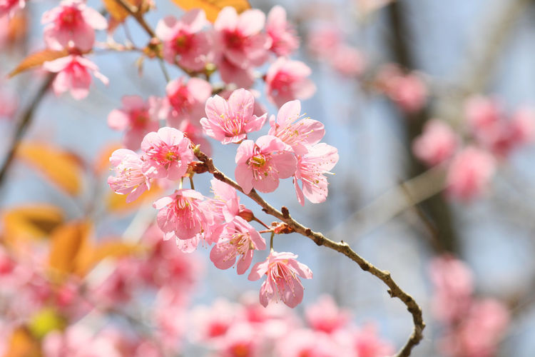 Wild Himalayan Cherry flower Landscape Forest Trees Tranquil Scene Pink Flowers Blue Sky Florist Fresh Flora Flower Wild Tree Plant Wild Himalayan Cherry Outdoors Flower Flowers,Plants & Garden Mountain View Hill Blooming Vacations Shelter Blossoms