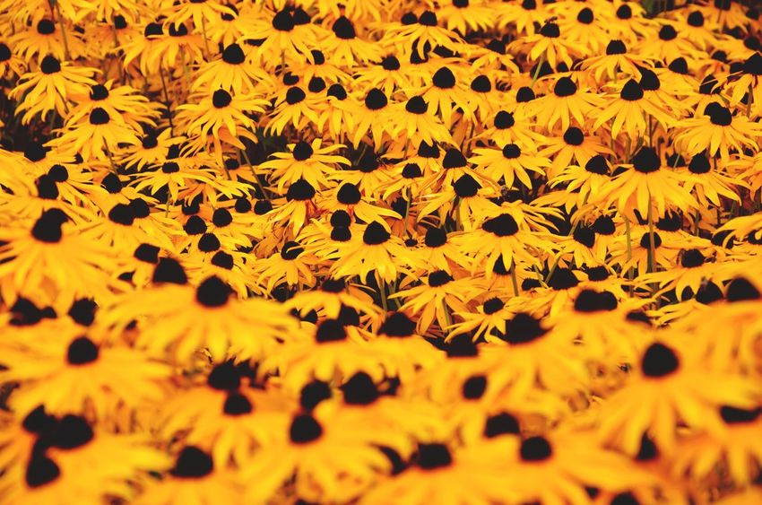 Flower Nature Plant Yellow Beauty In Nature Fragility Flower Head Field Freshness Defocused Growth Close-up Paint The Town Yellow Flower Collection Flower Field Yellow Flowers