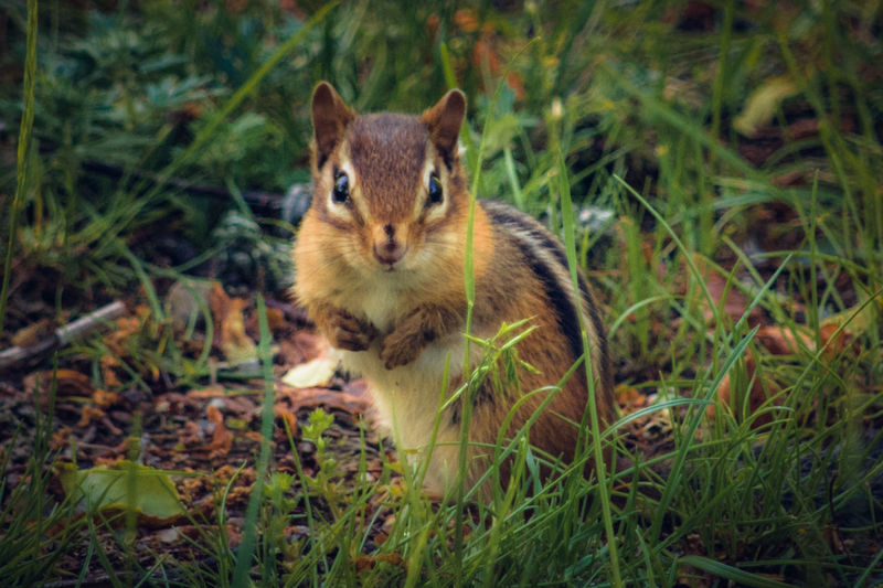 Chipmunk Photography Animals In The Wild Animal Themes Chipmunk Nature Photography MyArt✌ Nature Art Wildlife & Nature Wildlife Photography Wildlifephotography Wildlife And Nature Wildlife Photos Wildlifephotographer Animals In The Wild Animal Wildlife Nature Is Art Tranquil Nature Scene Artistic Expression Nature Outdoors Photograpghy  One Animal Outdoors