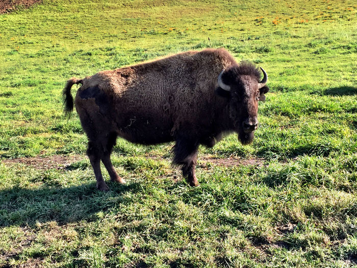Buffalo...in Sunol? - Bull Buffalo from a friends herd Sunol, CA Buffalo Animals Nature
