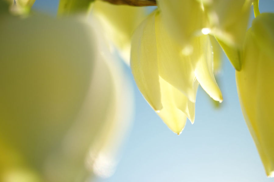 Close-up Flower Freshness Morning Light Nature No People Sunlight Translucent _Petals Translucent Light Tropical Climate Yellow Yucca
