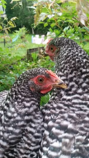 Meet two of my girls...Bella the bird...and Christi the chickie.. Bird Chicken - Bird Domestic Animals Female Animal Livestock No People Richwood Texas Thingsthatmakemesmile Barred Chickens Backyard Chickens Plymoth Rock Hens