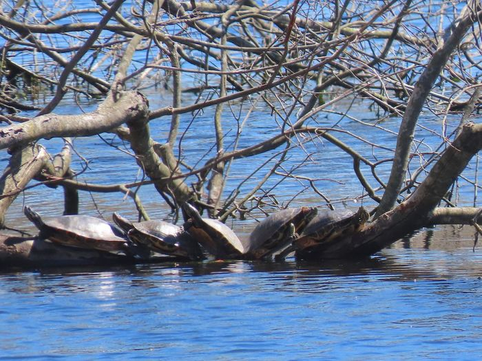 Turtles 🐢 five of them perched on a bare tree limb on the water EyeEm nature lover outdoors animal themes Tree Water Branch Nature Tranquil Scene No People