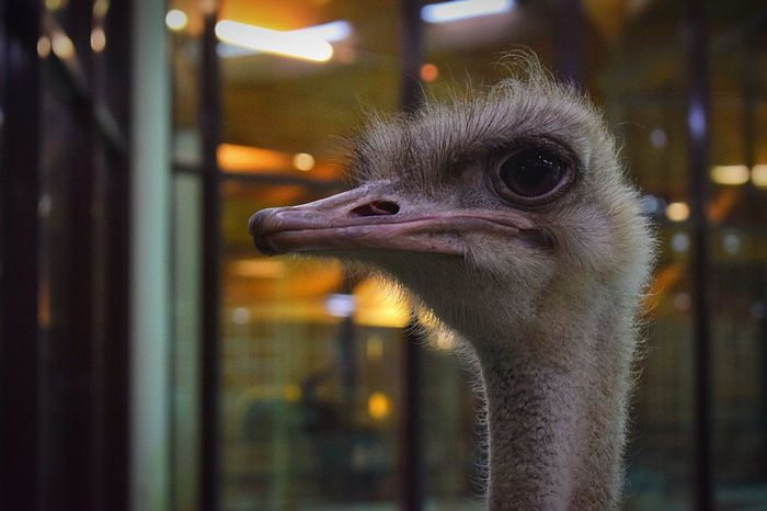 Birds One Animal Bird Animal Themes Ostrich Close-up Beak No People Nature Day Outdoors Ostrich Ostrich Head What Who Where Birds  Bird Photography Birds🐦⛅ Birds_collection Nature Adapted To The City Neighborhood Map
