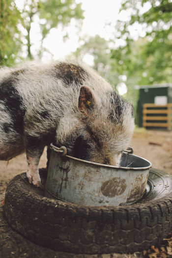 Close-Up Of Pig Eating From Bucket On Tire