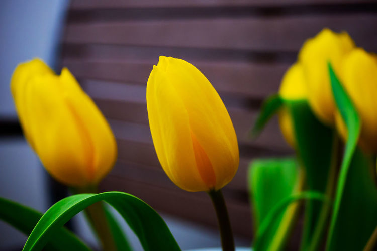 Tulips Flowers Tulip Tulpen Tulpenblüte Tulpe Schärfentiefe Gelb Gelbe Blüten Yellow Plant Freshness Vulnerability  Flower Growth Fragility Beauty In Nature Flowering Plant Petal Inflorescence Close-up Flower Head Nature No People Day Leaf Outdoors Plant Part Springtime