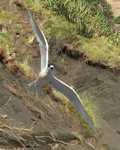 Black Fronted Tern Sand Dunes Seascape Photography Beach Photography Animals In The Wild Animal Themes Bird Animal Wildlife Day Nature Spread Wings No People