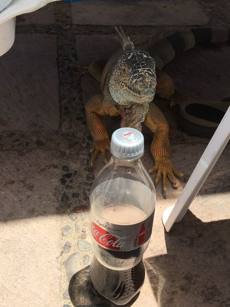 EyeEm Selects Sunny Day Day High Angle View No People Shadow Sunlight Outdoors Lizard Soda Coca Cola Coca Cola Light Iguana Photo