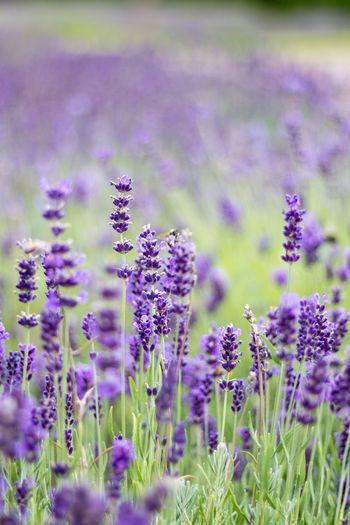 Blumen Lavendel Lila Grün Blüten Sommer Garten Colour Palette