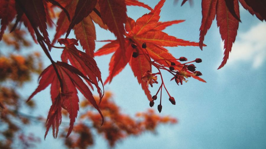 Tree Leaf Autumn Red Change Branch Maple Leaf Close-up Sky Maple Tree Maple Autumn Collection Plant Life In Bloom Leaves Fallen Blooming Growing