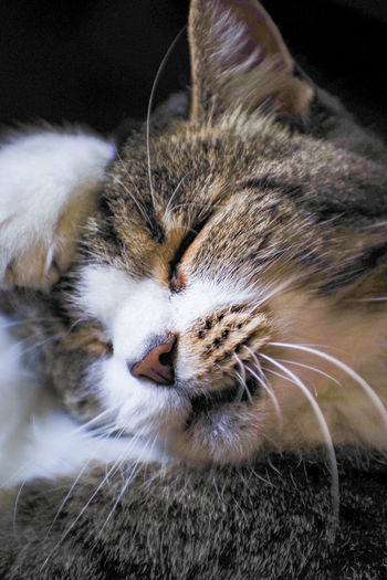 EyeEm Selects Pets Portrait Feline Domestic Cat Looking At Camera Whisker Close-up Cat At Home Sleepy Soft Domestic Home Sleeping Carnivora Adult Animal Lying