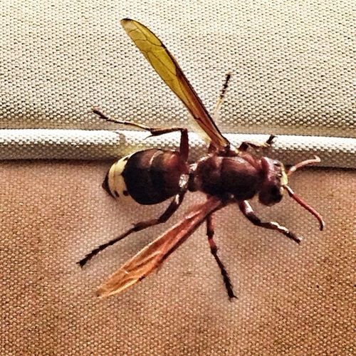 """An unwelcome visitor to my balcony. 1.5"""" in length. Can anyone identify it please? Insects  EyeEm Best Shots - Nature IPhoneography IPSNoFilter"""
