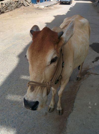 Cow Animal Animal Themes One Animal Mammal Vertebrate Animal Wildlife Nature