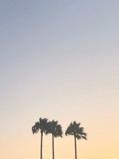 Palm Sky Tree Sunset Copy Space Clear Sky Plant Nature Silhouette Palm Tree Beauty In Nature Tropical Climate Tranquil Scene Outdoors No People