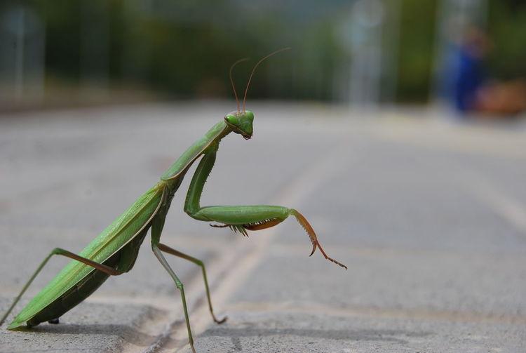 Close-Up Of Praying Mantis On Street