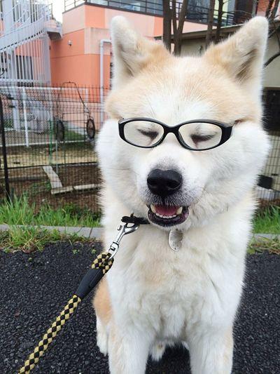 Konnichiwa! Akitainu  Akitalover Japanese Akita Akita Remindsmeofhachiko Hachiko Eyeemfun Funnydog