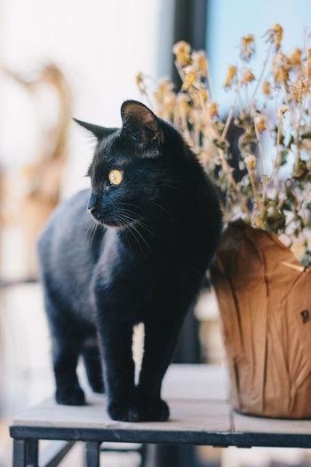 Black Cat Animal Themes Black Black Color Black Kitten Cat Close-up Day Domestic Animals Domestic Cat Feline Indoors  Kitten Mammal No People One Animal Pets Yellow Eyes