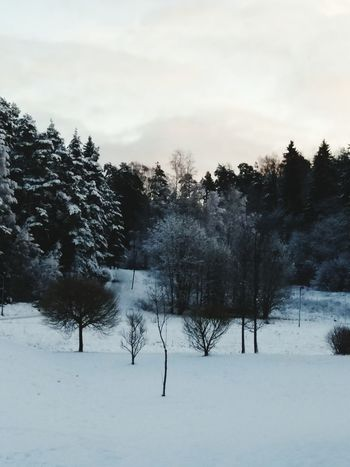 winter, snow, trees, sky Cold Temperature Forest Pinaceae WoodLand Pine Tree Wilderness Frozen Nature Cloud - Sky No People Beauty In Nature Polar Climate