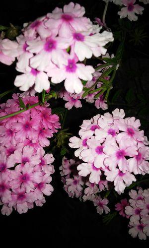 Verbena Flower Collection Eyeem Flowers Eyeemflowerlover Flowers Flowers,Plants & Garden
