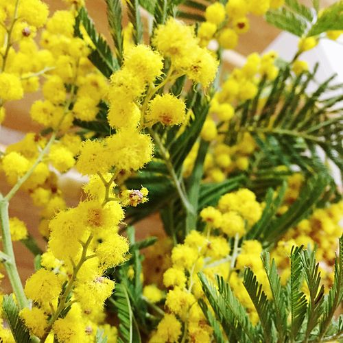 Flowers. Womansday Mimose Yellow Yellow Flower Green Springtime Beauty In Nature Nature Plant Details Focusobject