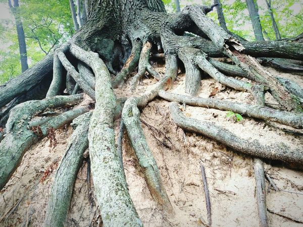 Rooted Natural Beauty Nature Photography Strength Nature Perseverance Sandy Soil Tangled Tree Photography Tree Trunk Forest Photography Exposed Roots Erosion Growth Rooted Pure Michigan Textured  Roots Roots Of Tree What I Value My Roots Tree Roots  EyeEm Nature Lover Tree Great Outdoors Michigan Tree Stump Environmental Damage Rough Rugged Eroded