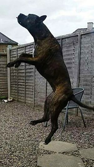 Animal Themes Side View Domestic Animals Dog One Animal No People Likesforlikes Happy Dog Play Time Play Likeforlike Kallie Outdoors Happy Pets Jumping