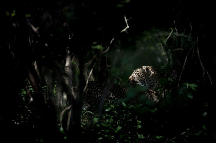 Beautiful creatures Fights Kenya Leopards Are Nocturnal Masaimara Bigcat Cute Baby Leaps Leopard No People Wildanimals