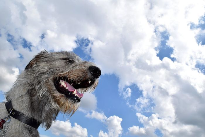 Skydog.... Taking Photos Check This Out Showcase August Summertime August2016 Holiday 2016 Summer 2016 The Places ı've Been Today How Is The Weather Today? Altmark Skyporn Sky And Clouds Summer Views Color Palette Cearnaigh Irish Wolfhound Dogwalk Dogslife Dogs Of Summer Dog Of The Day Dog Of My Life Dog Of Eyeem Blue Sky Essence Of Summer Frog Perspective