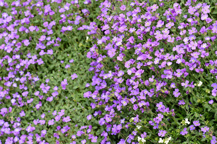 purple rockcress blossom in spingtime Bee Purple Purple Flower Purple Flowers Rockcress Spring Spring Flowers Springtime Springtime Blossoms
